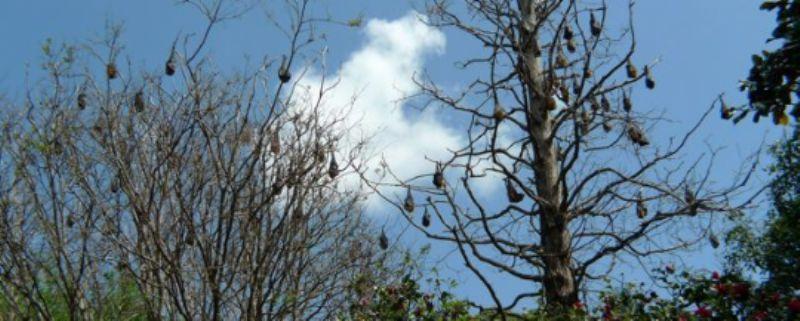 Botanical Garden fruit bats/flying foxes