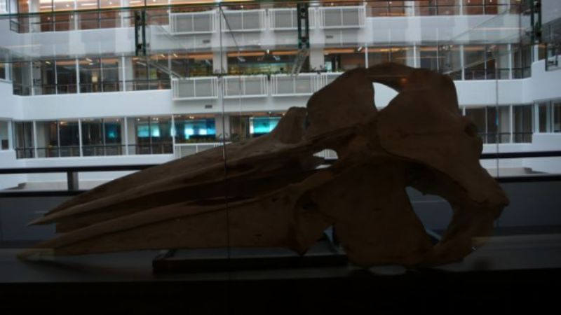 Whale skull at Environment Agency