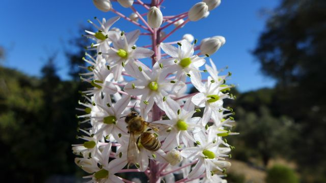 Bee on asphodel