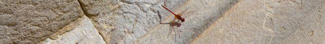 Patara dragonfly