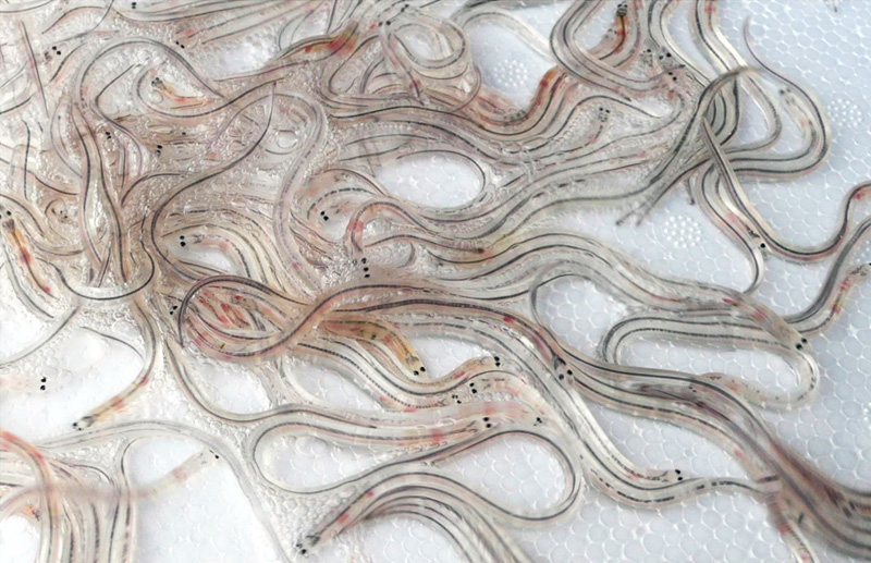 Glass eels - an earlier stage of the 27,000 eels that we will be released next year
