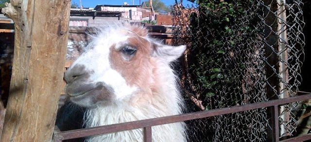 Uncomfortable - llama in a pen for tourists
