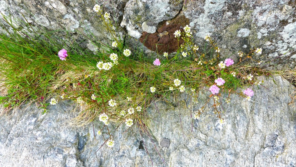Thrift and other wild flowers